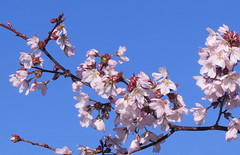 Blossoms and Blue Sky (mahar15) Tags: spring blooms flowers pink blossom outdoors blossoms nature cherryblossoms pinkblossom