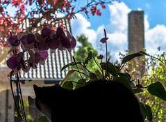 The cat in our window pane . . (Bokeh test) (Eduard van Bergen) Tags: window pane cat animals light orchid orchidee plants pussy female couch house backlight sony alpha ilce 5000 smc pentax 17 50mm seiko adapter pk nex snugly cosy girl domestic lady dame ancient old vintage glass glasses view streetview street camera focus bokeh dof