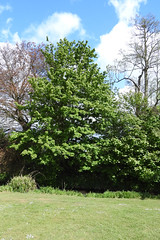 maple_field (Hall Place Idler) Tags: maple field acer aceraceae hallplace