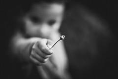 Le don d'une fleur (dono heneman) Tags: don gift cadeau présent noiretblanc nb blackwhite portrait scènedevie main hand fleur flower paquerette végétal vegetal végétation human humain homme enfant children child loguivydelamer côtedarmor bretagne france pentax pentaxart pentaxk3 flou