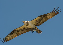 Open Wide... (ragtops2000) Tags: osprey migrating overhead fisherman catch catfish flying eye yellow detail close raptor fishhawk colorful dinner intense sky blue exciting lake wather tamron150600g2 nikond500 iowa manawa feathers markings