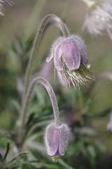 je suis belle et poilue (rondoudou87) Tags: flower fleur pentax k1 nature natur garden jardin macro close closer