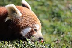 Red Panda (modekopp) Tags: canoneos5dmarkiv ef100400mm canoneos5d mark ivef100400 canon eos 5d modekopp eifel ef100400mmf4556 eos5dmarkiv 100400mm canoneos 5dmarkiv 100400 eosd ef100400 5dmark4 canon100400 iv