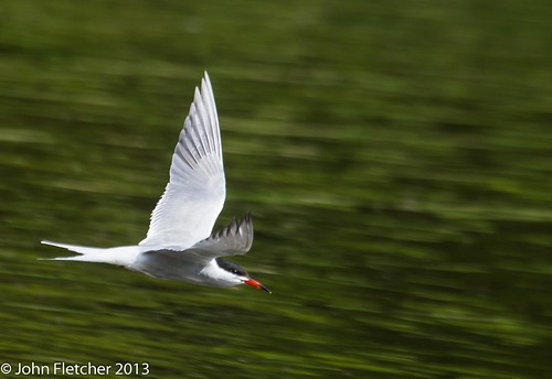 Common terns are back 2