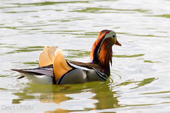 Canard mandarin (Oric1) Tags: france bird nature water colors animal duck eau mandarin iledefrance catchy oiseau canard avian 91 essonne img1164jpg morsangsurorge oric1