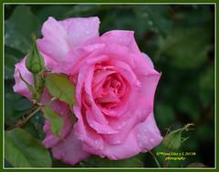 Pink rose Waterdrops (Pepe (ADM)) Tags: pink flowers flores nature rose flor fiori waterdrops pinkrose fleure