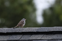 May 10th, White-crowned sparrow (violetflm) Tags: bird yard spring native may sparrow glenview edim may10th d300s whitecrownedsparoow d3v4514