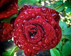 droplets on the rose (AlexNegoda) Tags: red flower color water beautiful rose droplets flora