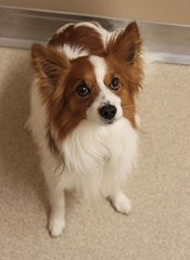 Sammy(4) (Mary022378) Tags: dogs puppies naperville adopt adoptpetshelter