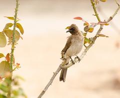 Swag (r.Mb) Tags: brown green bird leaves stem nikon branch ghana perch thorn accra d5100
