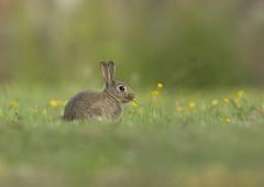 Rabbit_6870 (Peter Warne-Epping Forest) Tags: uk rabbit rodent feeding ngc fantasticnaturegroup