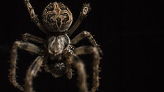 Spider waiting (Mads S. Hansen) Tags: insect spider nikon flashlight 40mm d60 offcamera sb700