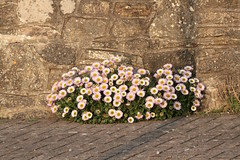 Wall flowers? (Welsh Harlequin) Tags: 15challengeswinner