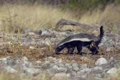 Honey Badger Goas Etosha Namibia TY_5032 (YOYO182) Tags: africa namibia etosha honeybadger canon7d