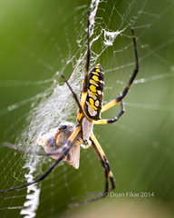 Argiope Spider and Web (dfikar) Tags: hairy black detail macro green animals yellow vertical closeup bug insect spider close stripes web arachnid spiderweb cobweb cocoon arachnida arthropod argiope argiopespider orbweb