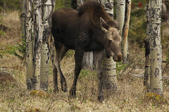 Moose in the Aspens 5707 (issyr) Tags: trees usa nature animal mammal colorado wildlife moose grandlake northamerica aspens granby estespark rockymountainnationalpark alcesalces northamericanmoose
