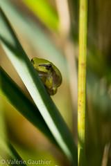 IMG_8200w (Laélie) Tags: grenouille étang rainette islecrémieu etangdelemps