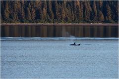 081hdra (markbyzewski) Tags: alaska juneau ugly killerwhale orcas