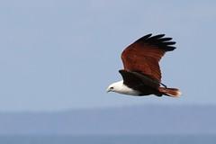 Red-Backed Sea-eagle (Robbie Guarino) Tags: eagle flight seaeagle