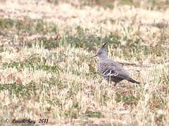 1.04595 Colombine longup / Ocyphaps lophotes lophotes / Crested Pigeon (Laval Roy) Tags: birds aves oiseaux australie crestedpigeon columbiformes colombinelongup columbidés ocyphapslophoteslophotes lavalroy