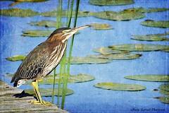 Green Heron (juvenile), Butorides virescens (Passion4Nature) Tags: lake dock michigan birding textures upnorth ie birdwatching greenheron butoridesvirescens eastjordan memoriesbook magicartoftextures magicunicornverybest