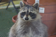 Raccoon Visit, (John Mac Giolla Phdraig Leisen) Tags: pictures life california wild usa fish newyork bird nature birds fly dc pics hawk conservation prey wyoming devlin environmentalscience hawks fitzpatrick migrating washinton migrate jackleisen johnfitzpatrickleisen jackleisengmailcom adirondackmammalsenvironmentalscience lauriesigel adirondackmammals