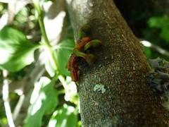 Empezando a parasitar (Alina Andina) Tags: parasite parasito quintral tristerix corymbosus