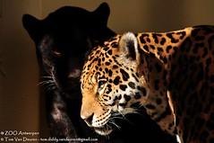 Jaguar - Panthera Onca (MrTDiddy) Tags: black yellow female sisters cat mammal zoo big kat siblings bigcat jaguar zo geel antwerpen zara zooantwerpen grote onca panthera vrouwelijk zoogdier grotekat