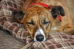 sleeping dog castle sussex blanket medival lurcher herstmonceux herstmonceuxcastle whipet herstmonceuxmedievalfestival