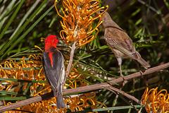 Scarlet Honeyeater (Myzomela sanguinolenta) (kerriebr) Tags: male bird birds australian australia juvenile grevillea passeriformes meliphagidae scarlethoneyeater myzomelasanguinolenta