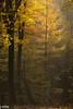 Lightning (j-ette) Tags: autumn colors forest herfst autumncolors larch bos beech beuk lariks speulderbos