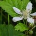 California Blackberry (Rubus ursinus)