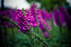 (ffaffal) Tags: china leica flower closeup island 50mm flora expo bokeh chinese violet taiwan taipei f2 formosa taipeh 2010 violett m9