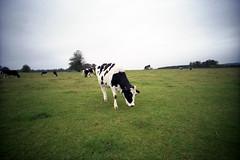black and white cow (pho-Tony) Tags: 35mm lens 1 lomography fullframe ultrawide blend yorkshiresculpturepark 17mm ultrawideangle superwide lcwide lomolcw lomolcwide minigon17mm minigon