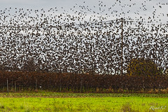 AirTraffic (Rent82) Tags: birds uccelli campagna vite stormo storni