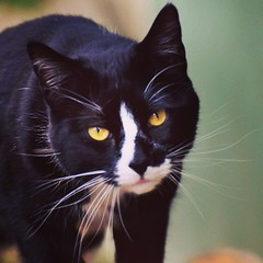Thaddeus I (liquidnight) Tags: camera cats animals portland eyes nikon bokeh whiskers pdx felines tuxedocat visitor gaze katzen yelloweyes thaddeus d90 venturebros notmycat uploaded:by=flickrmobile flickriosapp:filter=nofilter