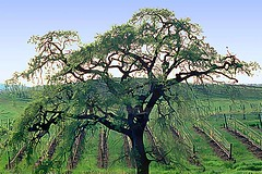 Oak Tree & Sonoma County Vineyard (Vern Krutein) Tags: california travel usa tree nature northerncalifornia landscape flora scenery natural branches vineyards rows wilderness agriculture oaktree scenes scenics winecountry grapevines vintners geoform