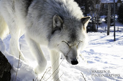 Loup Gris (Warren Qc) Tags: winter snow canada cold ice animal animals america gris wolf quebec hiver arctic loup neige animaux froid saguenay wolves glace arctique amerique