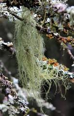Mermaids, no, woodsmaids hair!;) (:Linda:) Tags: germany village thuringia twig lichen flechte lrche larchtree brden usneafilipendula bartflechte gewhnlicherbaumbart