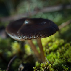 Entoloma ? (Vincent L°) Tags: france macro automne photographie fungi lichen vienne champignon saison chauvigny poitoucharentes mycota mycètes