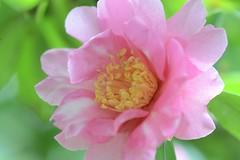 Tamagawa:Camellia (love_child_kyoto) Tags: travel winter flower macro nature spring kyoto camelia  botanicalgarden   indiansummer pinkflowers          masterphotos      feb12014