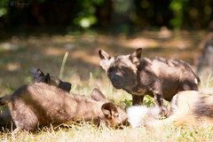 african wild dogs (Cloudtail the Snow Leopard) Tags: zoo basel tier animal säugetier mammal hind afrikanischer wildhund african wild dog canide lycaon pictus welpe cub litter wurf jung young cloudtailthesnowleopard