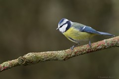 The Eurasian Blue Tit (Lambert Reinds) Tags: vpu1 vpu2 vpu3 vpu4 vpu5