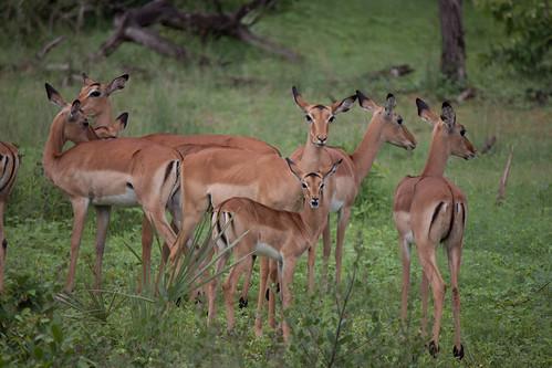 "Impala <a style=""margin-left:10px; font-size:0.8em;"" href=""http://www.flickr.com/photos/117397217@N06/12491262964/"" target=""_blank"">@flickr</a>"