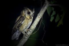 Collared Scops Owl / Otus lettia / นกเค้ากู่ , นกฮูก