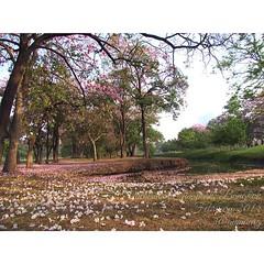 มุมโปรด  #vachirabenjataspark #park #publicpark #tree #tabebuya #biodiversity #chatuchak #bangkok #thailand #bbkk #beautiful_siam #ชมพูพันทิพ #สวนรถไฟ #สวนวชิรเบญจทัศ #february #2014