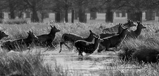 Red deer crossing the stream