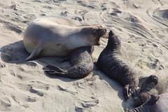 IMG_1364 Elephant Seal (ThorsHammer94539) Tags: elephant seals blancas piedras