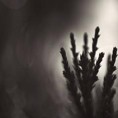 uncertainty (Jon Downs) Tags: red white plant abstract black art monochrome digital canon downs creativity photography eos grey mono photo jon flickr artist photographer natural image bokeh gray creative picture pic photograph 7d jondowns