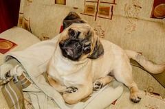 Pug (Bernhard WK) Tags: pug noel mops